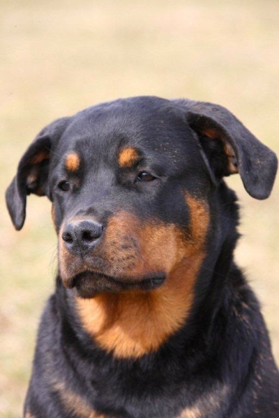education-canine-rottweiller-saintnazaire