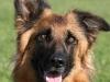educateur-canin-comportementaliste-berger-allemand-chauve
