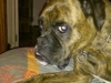 educateur-canin-comportementduchien-boxer-ploemeur