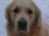educateur-canin-comportementaliste-golden-retriever-carquefou