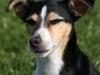 educateur-canin-lorient-jack-russel
