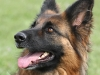 education-canine-berger-allemand-ploemeur