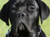 education-canine-canecorso-pluvigner