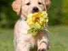 Golden Retriever Welpe mit Blume